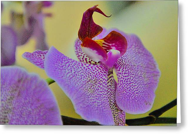 Closeup Of A Phalaenopsis Blossom. Greeting Card by Andy Za