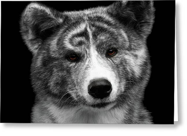 Closeup Portrait Of Akita Inu Dog On Isolated Black Background Greeting Card by Sergey Taran