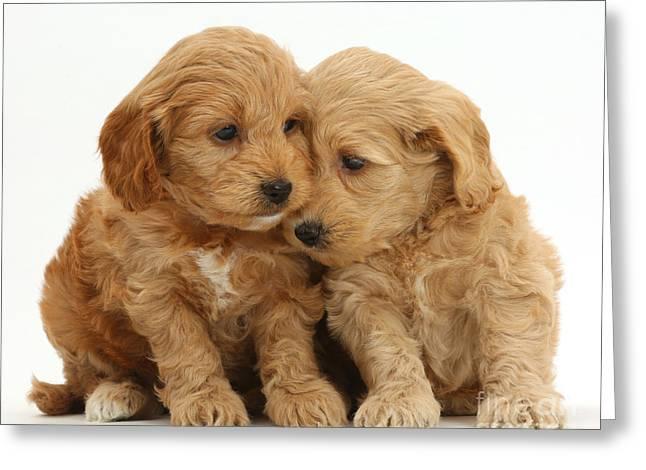 Cockapoo Puppies Greeting Card