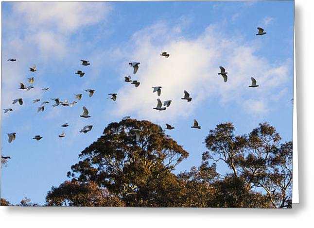 Cockatoos - Canberra - Australia Greeting Card