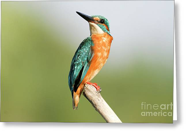 Common Kingfisher Alcedo Atthis Greeting Card