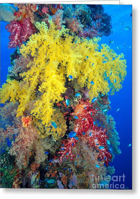 Coral, Close-up Greeting Card by Dave Fleetham - Printscapes