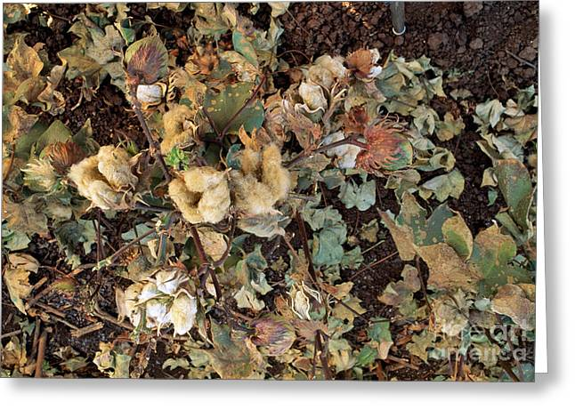 Cotton Bolls Greeting Card by Inga Spence