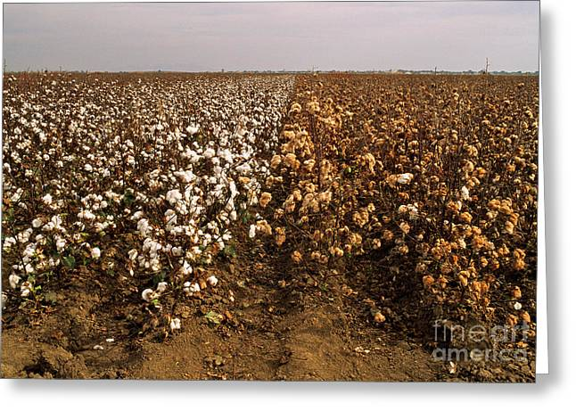 Cotton Field Greeting Card by Inga Spence