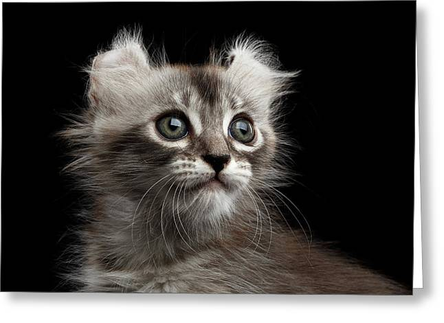 Cute American Curl Kitten With Twisted Ears Isolated Black Background Greeting Card