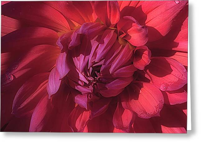Dahlia 'wyn's King Salmon' Greeting Card