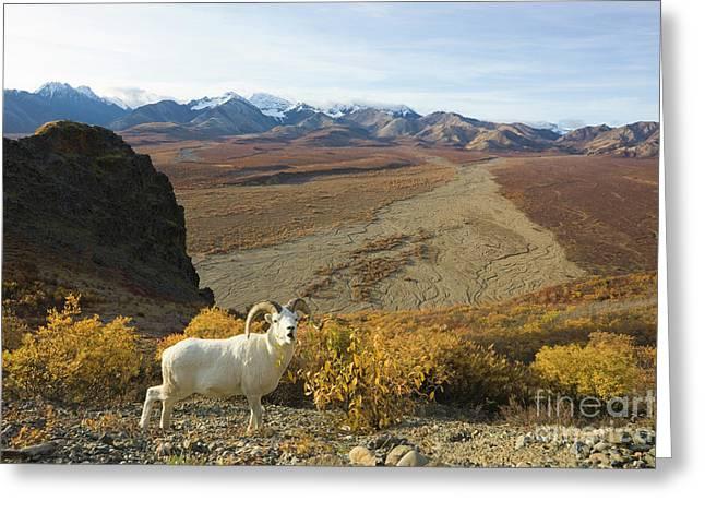 Dalls Sheep In Denali Greeting Card