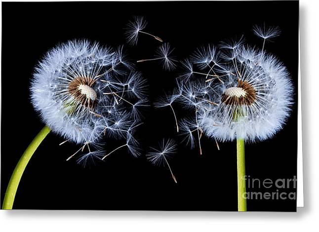 Greeting Card featuring the photograph Dandelion On Black Background by Bess Hamiti