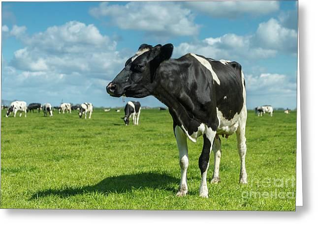 Dutch Cow Greeting Card