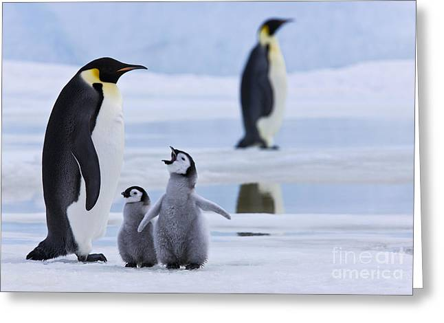 Emperor Penguins And Chicks Greeting Card
