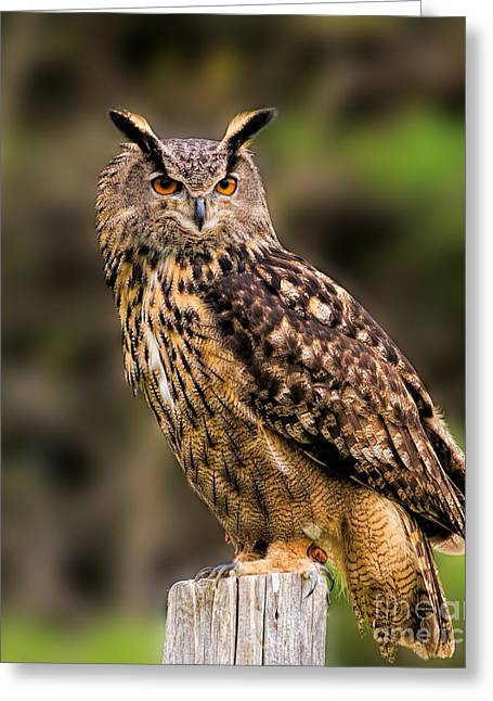 Eurasian Eagle Owl Perched On A Post Greeting Card