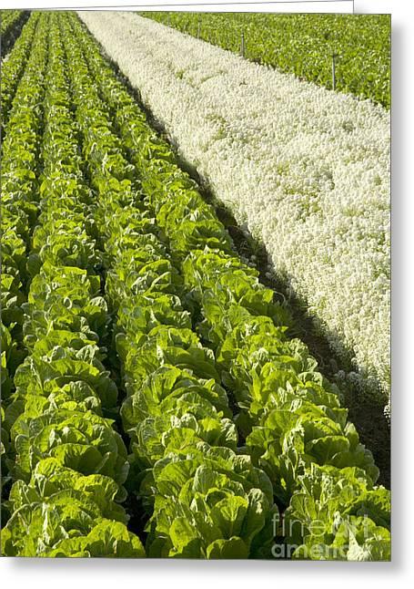Field Of Organic Lettuce Greeting Card