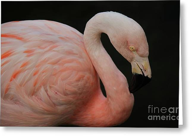 Flamingo Greeting Card by Paulette Thomas