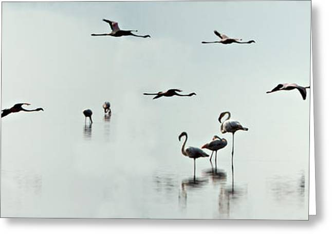 Flamingos In A Lake, Lake Manyara Greeting Card by Panoramic Images