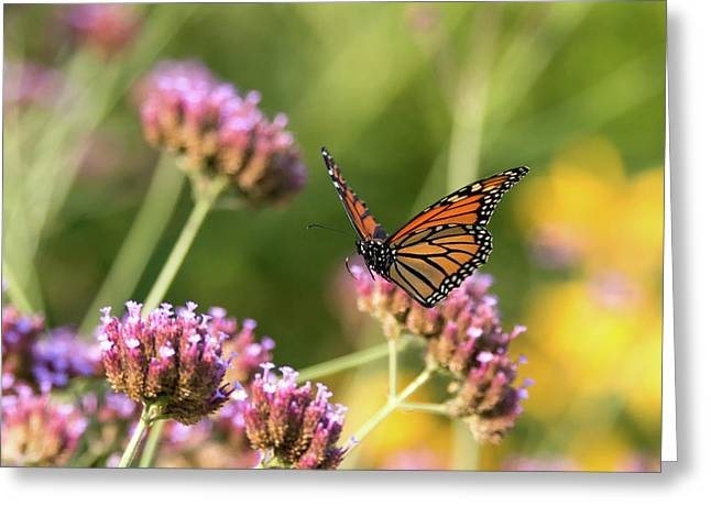 Flight Of The Monarch 1 Greeting Card