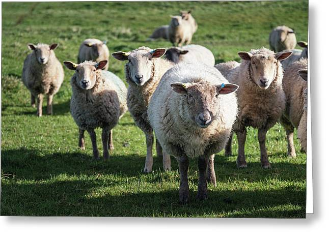 Flock Of Sheep In Spring Sunshine In English Farm Countryside La Greeting Card