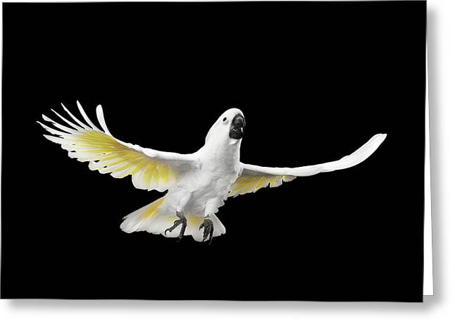 Flying Crested Cockatoo Alba, Umbrella, Indonesia, Isolated On Black Background Greeting Card