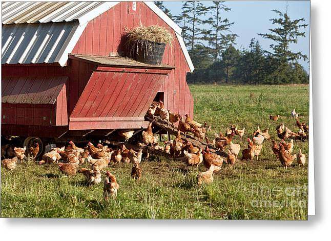Free Range Chickens Greeting Card
