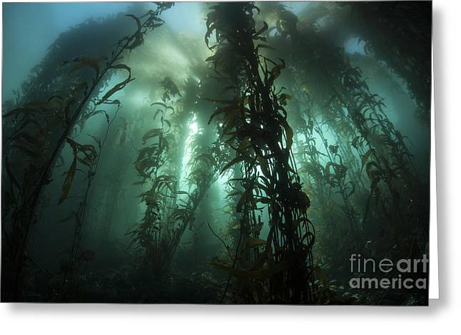 Giant Kelp Macrocystis Pyrifera Grows Greeting Card by Ethan Daniels