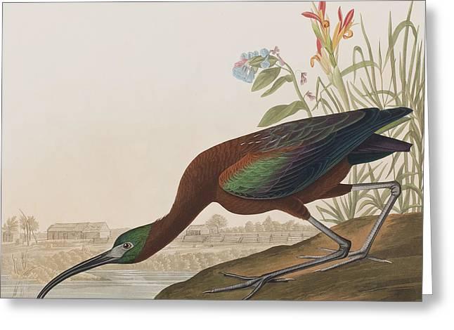 Glossy Ibis Greeting Card by John James Audubon