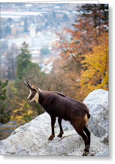 Goat In The Austrian Alps Greeting Card