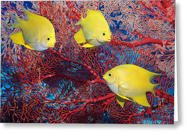 Bony Fish Greeting Cards - Golden Damselfish Greeting Card by Georgette Douwma