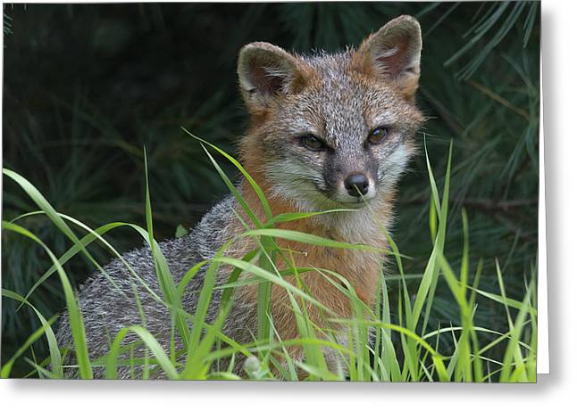 Gray Fox In The Grass Greeting Card