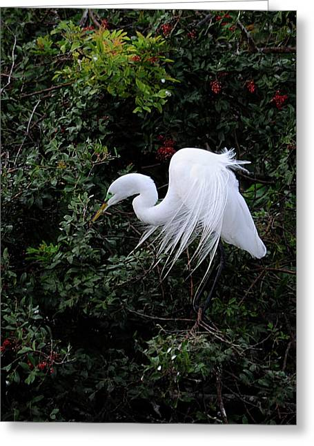 Great Egret Greeting Card by Keith Lovejoy