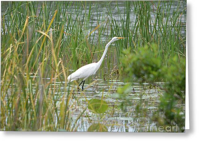 Great Egret Watching And Waiting Greeting Card by Ruth Housley