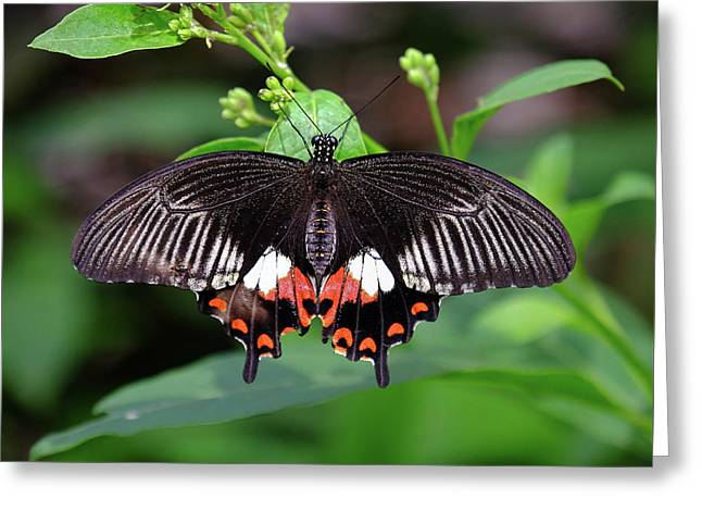 Great Mormon Butterfly Greeting Card by Ronda Ryan