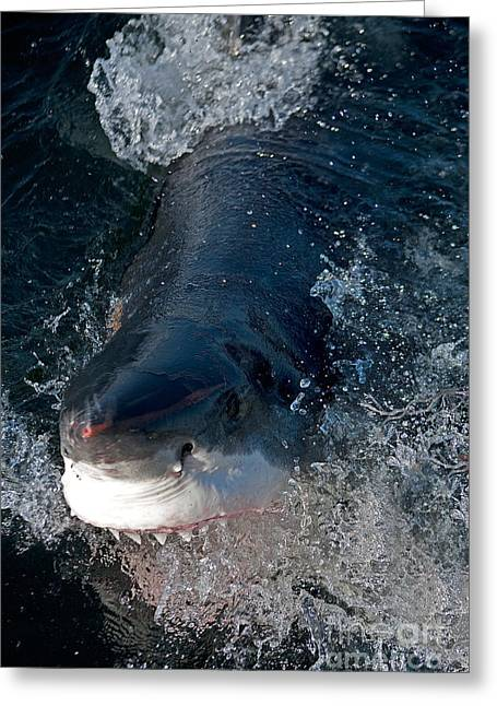 Great White Shark Carcharodon Carcharias Greeting Card by Gerard Lacz