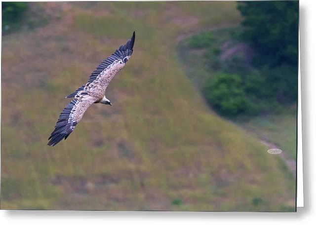 Griffon Vulture Flying, Drome Provencale, France Greeting Card