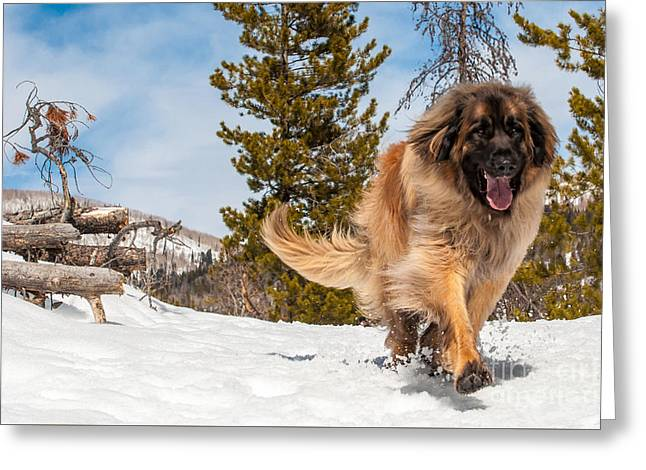 Happy Leonberger Winter Trail Running Greeting Card