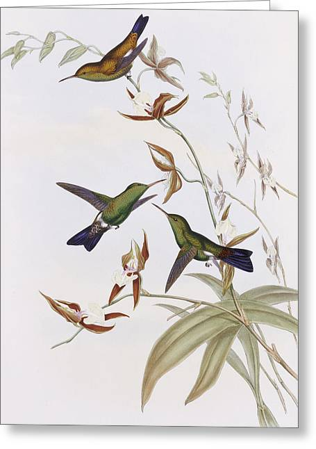 Hummingbirds Greeting Card by John Gould