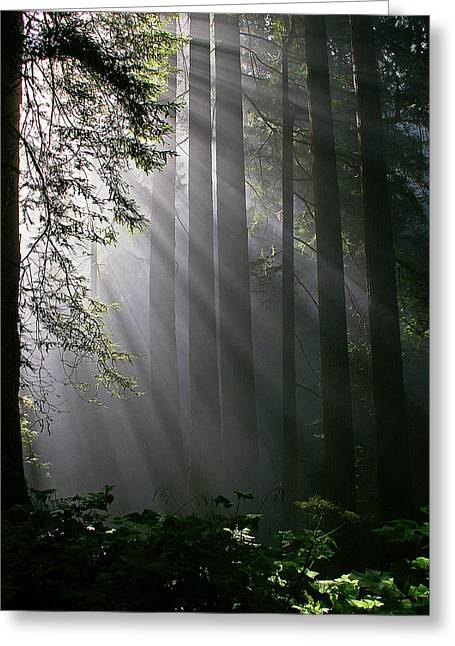 In The California Redwood Forest. Greeting Card