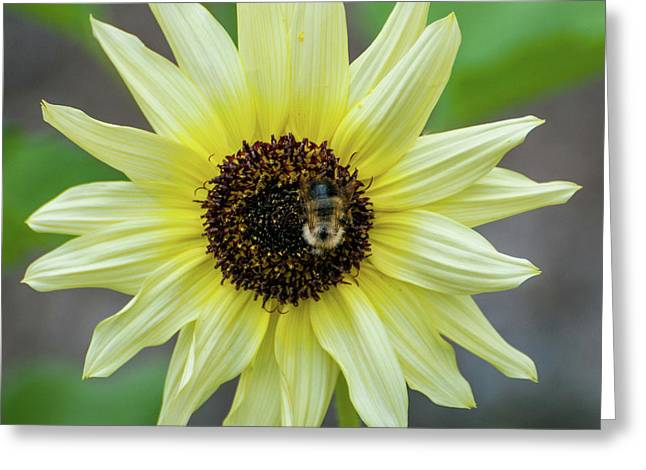 Greeting Card featuring the photograph Italian Sunflower by Brenda Jacobs