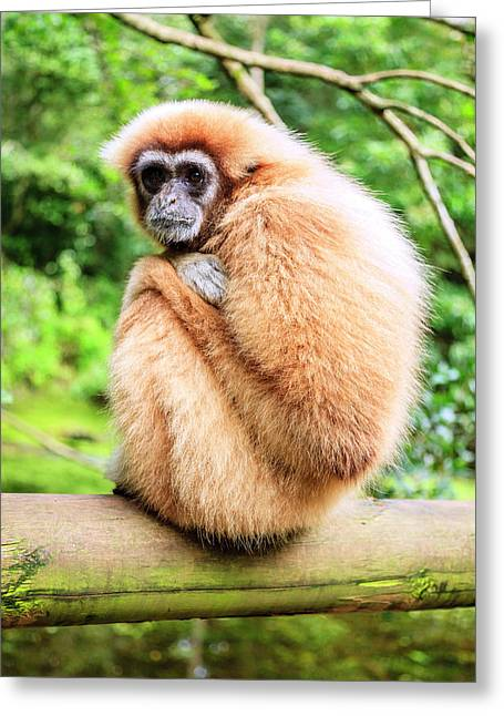 Greeting Card featuring the photograph Lar Gibbon by Alexey Stiop