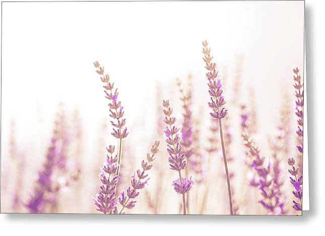 Lavender Flower In The Garden,park,backyard,meadow Blossom In Th Greeting Card