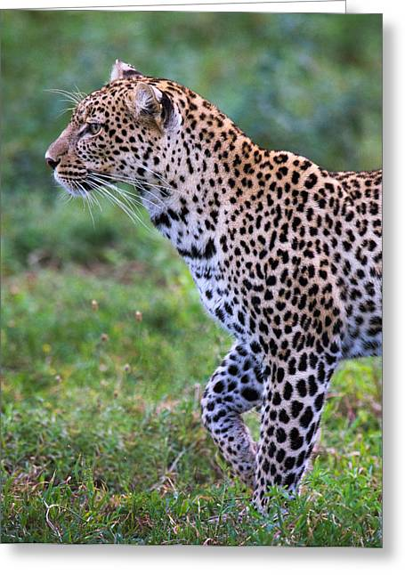 Leopard Panthera Pardus, Ndutu Greeting Card by Panoramic Images