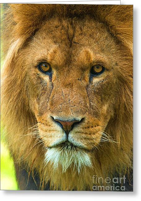 Lion Greeting Card by Andrew Michael