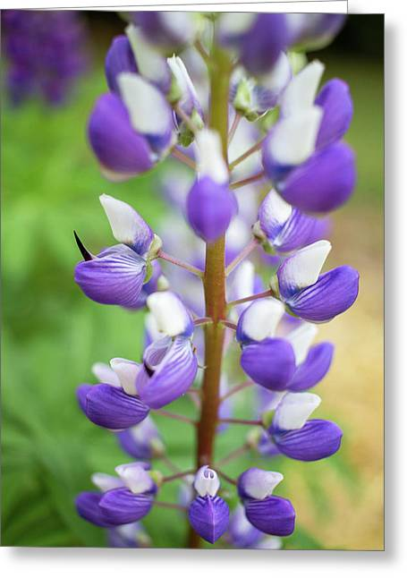 Greeting Card featuring the photograph Lupine Blossom by Robert Clifford