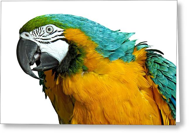 Macaw Bird Greeting Card