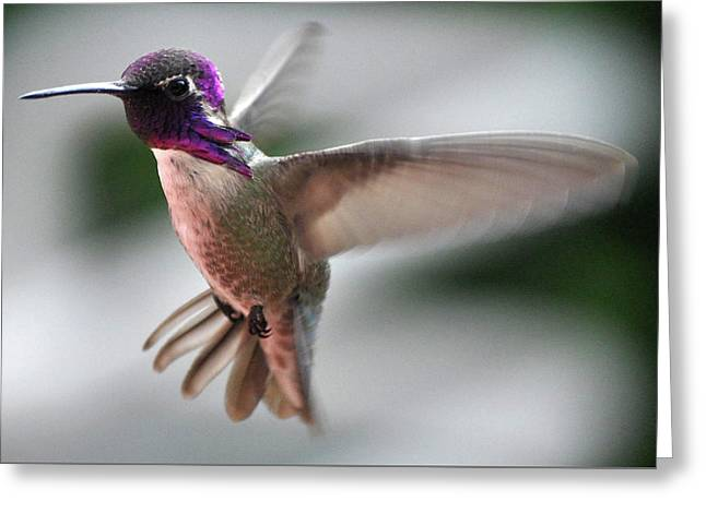 Male Anna's In Flight Greeting Card