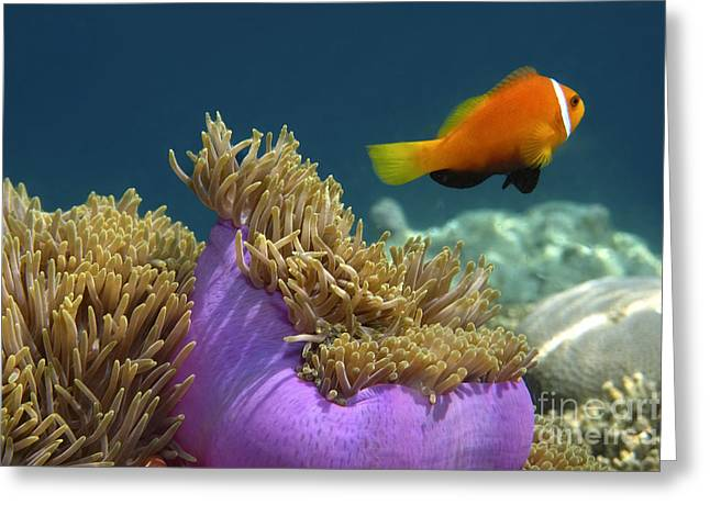 Greeting Card featuring the photograph Maledives Clown Fish by Juergen Held