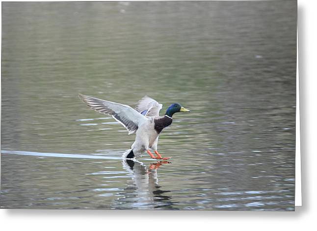 Greeting Card featuring the photograph Mallard Duck Male by Margarethe Binkley