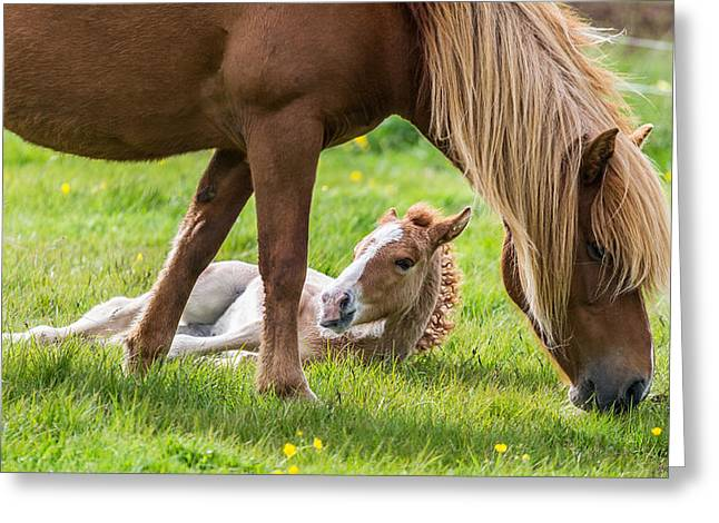Mare And New Born Foal, Iceland Greeting Card by Panoramic Images