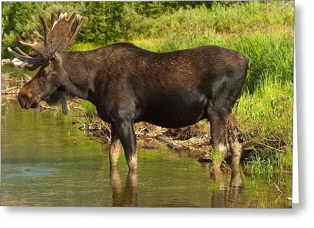 Moose Greeting Card by Sebastian Musial