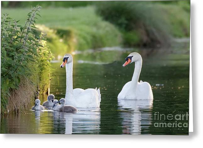 Mute Swan - Cygnus Olor - Adult And Cute Fluffy Baby Cygnets, Swim Greeting Card by Paul Farnfield