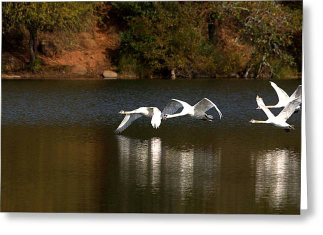Mute Swans In Flight Over The Lake Greeting Card by Roy Williams