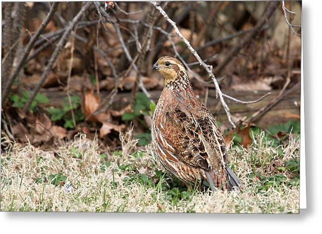 Northern Bobwhite Quail Greeting Card